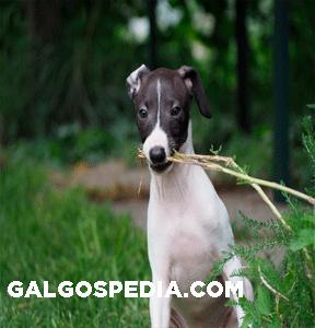 Galgo-Italiano-galgospedia.com